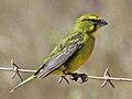 Brimstone Canary RWD.jpg