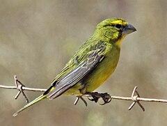 240px brimstone canary rwd