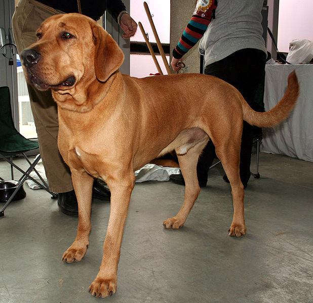 Broholmern är en större dansk hundras som räddades från utrotning i modern tid