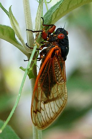 Brood XIX - Cicada from Brood XIX, Chapel Hill, NC, May 29, 2011