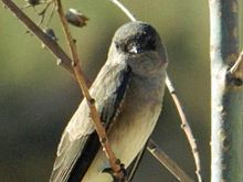 Brown-throated Martin JM.jpg