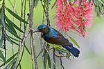 Brown-throated Sunbird male.jpg