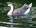 Brown Chinese Goose (7934081522).jpg