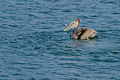 Brown Pelican with fish catch.jpg
