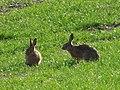 Brown hares (Lepus europaeus) (51107372790).jpg
