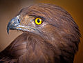 Brown snake eagle.jpg
