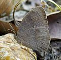 Brush-brown. ( Long-brand. Mycalesis visala^) - Flickr - gailhampshire.jpg