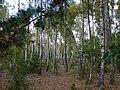 Brzozowy las - panoramio.jpg