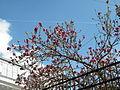 Bucuresti, Romania, Magnolii in primavara 2014.JPG