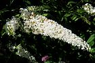 Buddleja davidii 'Pixie White' panicle.jpg