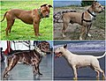 Bull-type terrier group dog breeds.jpg