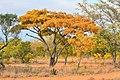 Burkea africana05.jpg