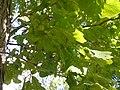 Burr Oak (Quercus macrocarpa) P9190054.jpg