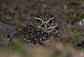 Burrowing Owl at Eye Level.jpg