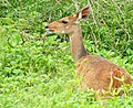 Bushbuck (Tragelaphus scriptus) female ... (51127276623).jpg