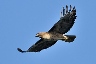 Red-tailed hawk - A typical pale western adult in flight