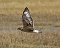 Buteo regalis Grand Teton 2.jpg