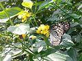 Butterfly irv0.jpg