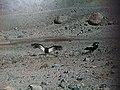 Cóndor andino (Vultur gryphus).jpg