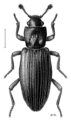 COLE Bothrideridae Ascetoderes obsoletus.png