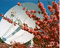 CSIRO ScienceImage 11143 Fruit trees blossoming in front of the 70 metre antenna DSS 43 at the Canberra Deep Space Communication Complex.jpg