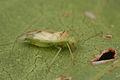 CSIRO ScienceImage 1820 A green mirid Creontiades dilutus.jpg