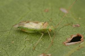 Miridae - Creontiades dilutus