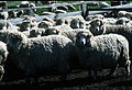 CSIRO ScienceImage 214 Merino Flock.jpg