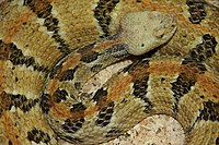 A black, gray, and brown snake somewhat coiled up and looking at the viewer.
