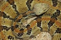 Una serpiente negra, gris y marrón algo enrollada y mirando al espectador.