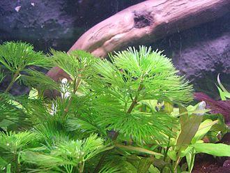 Cabombaceae - Image: Cabomba aquatica 1 (Piotr Kuczynski)