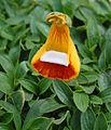 Calceolaria uniflora (2943630377).jpg