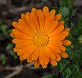 Calendula officinalis - Parc floral.jpg