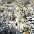 California Death Valley Coyote2.jpg