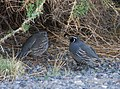 California Quail Fallon NV (19978763835).jpg