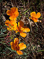 California poppy (Eschscholzia californica) (4710135123).jpg