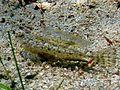 Callionymus risso Cres 1.JPG