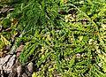 Calluna vulgaris 'White Lawn' kz13.jpg