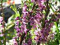 Calluna vulgaris harilik kanarbik 02 estonia.JPG