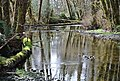Calm stream quinault rainforest c bubar march 05 2015 (22453927293).jpg