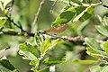 Calopteryx virgo, Drugeon - img 22492.jpg