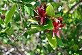 Calycanthus occidentalis Californian Sweetshrub კალიფორნიის კალიკანთუსი (1).JPG