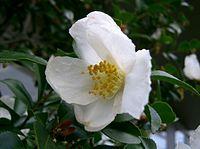 Camellia sasanqua4