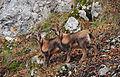 Camoscetti di monte Amaro - Foto Angelina Iannarelli.jpg