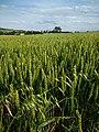 Campo Cereales en Villarán.jpg