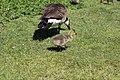 Canada goose - Branta canadensis (40171566130).jpg