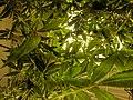 Cannabis plant below grow lights.jpg