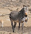 Cape Mountain Zebra (Equus zebra zebra) (31766817534).jpg