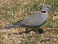 Cape Turtle Dove RWD2.jpg