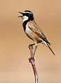 Capped Wheatear, Oenanthe pileata at Suikerbosrand Nature Reserve, Gauteng, South Africa (14996053508).jpg